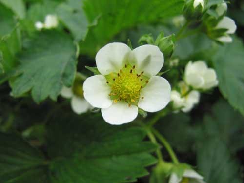 цветок садовой земляники