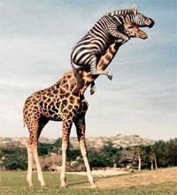 Зебра и жираф, хорошо работают в одной команде, поддерживая друг друга